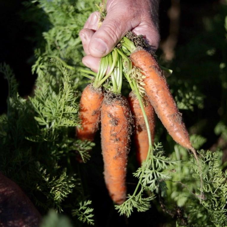 Carrots in field
