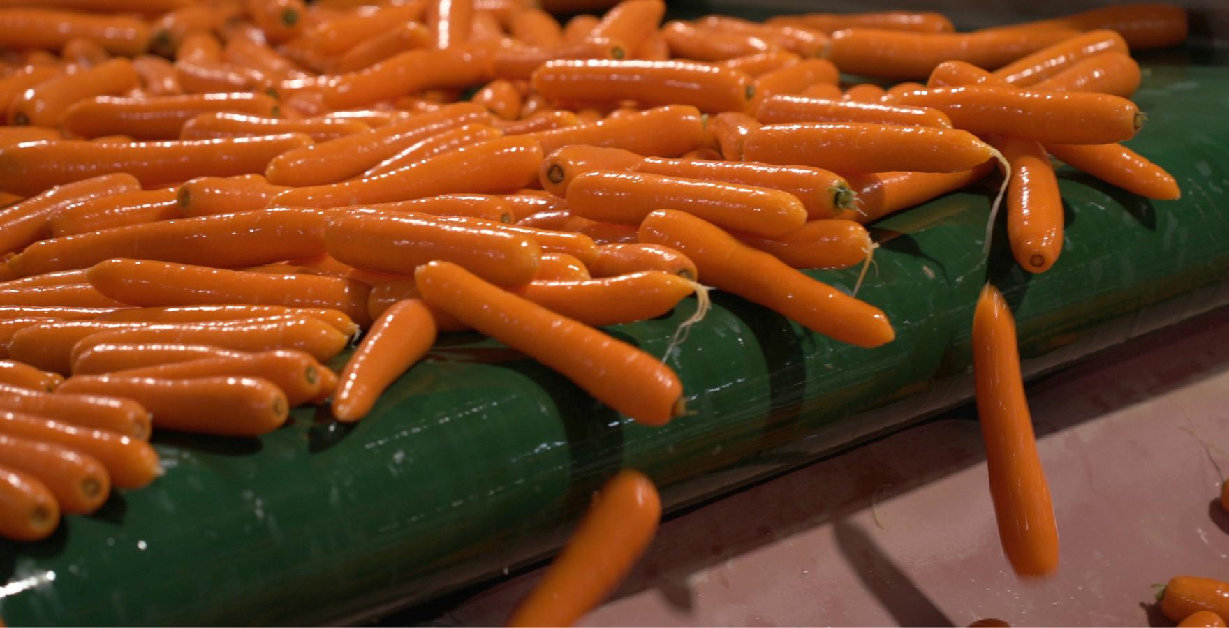 Carrots on conveyor belt