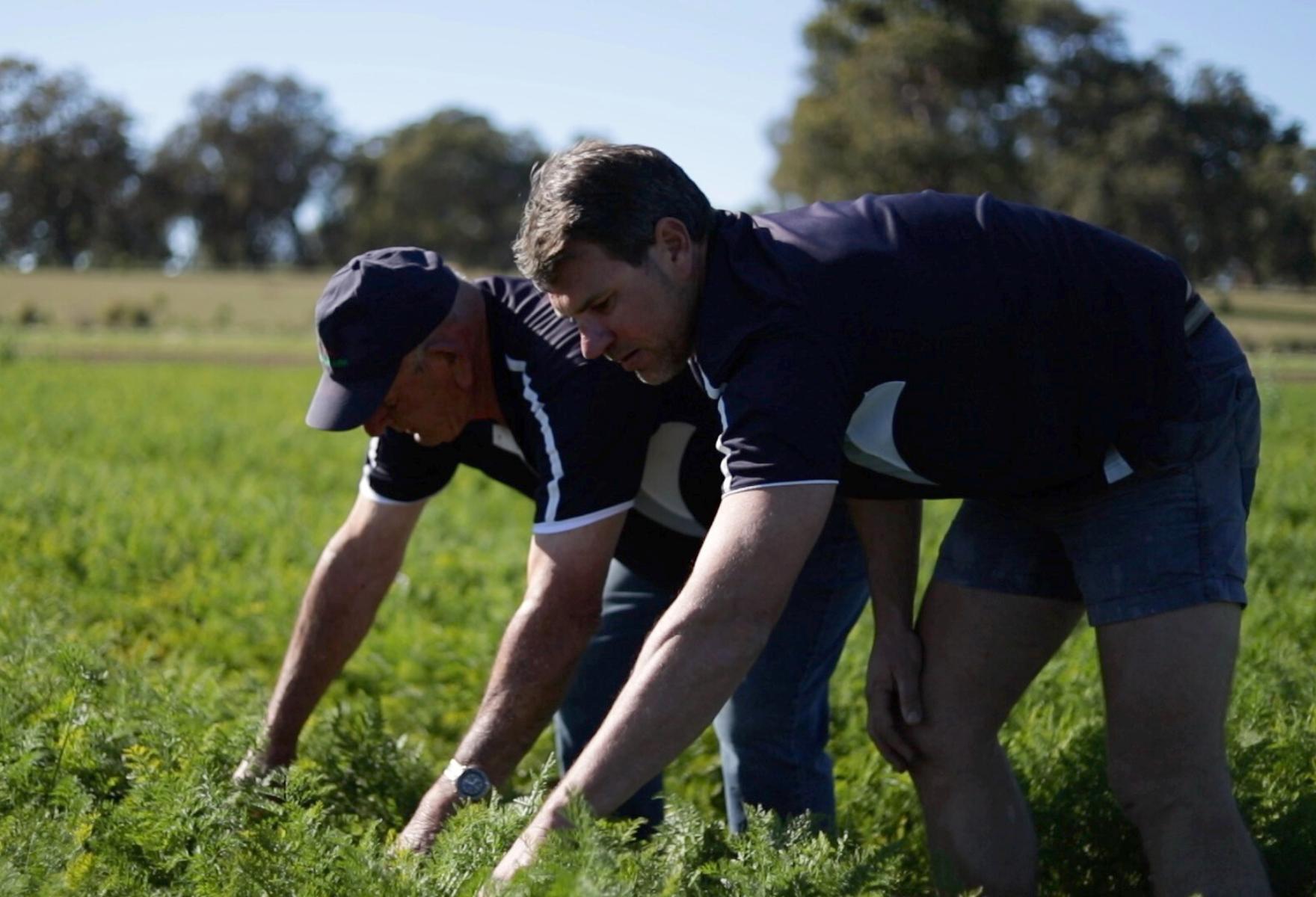 Farmers picking carrots