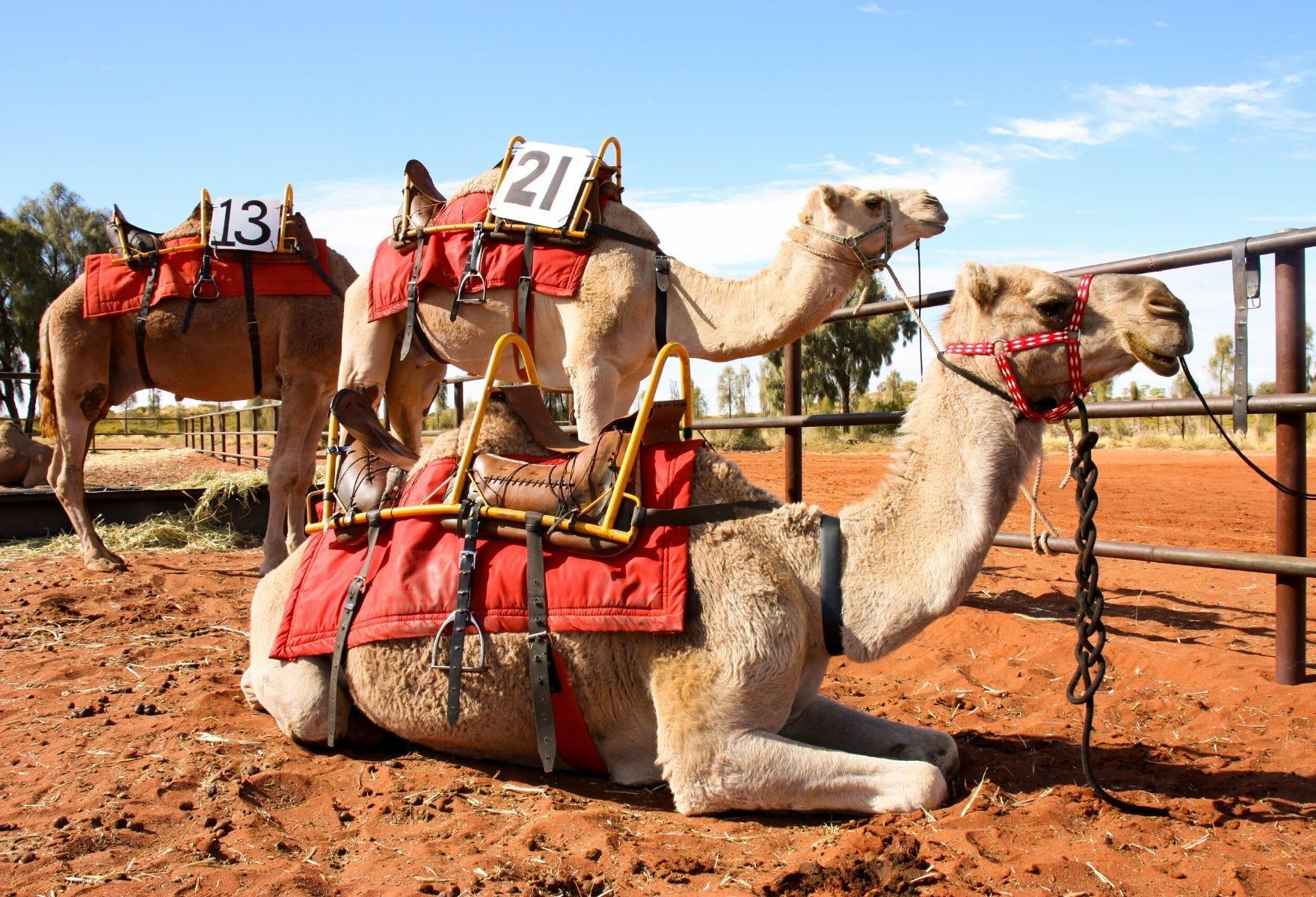 Uluru Camel Cup Camels